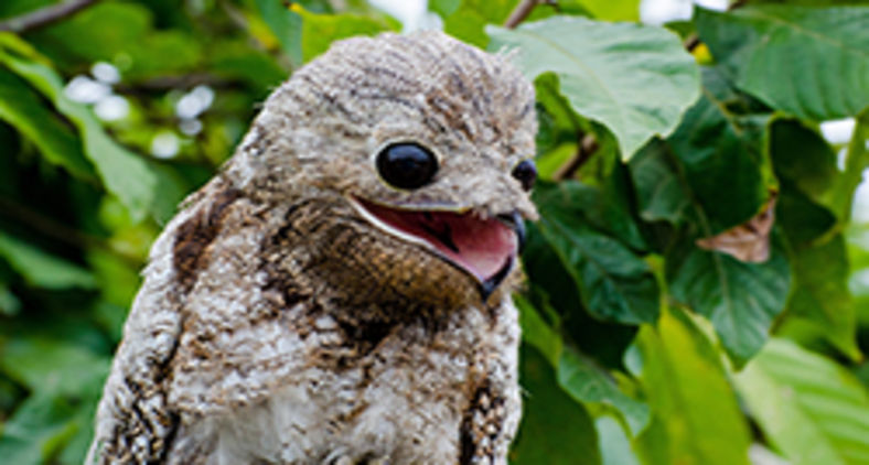 A vocalização dos urutaus é fonte de lendas e temores por parte da população rural (Allison Dias/Wikimedia)