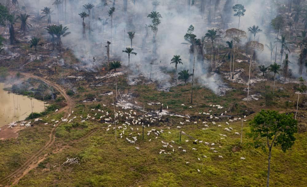 Criação de gado na Amazônia, com frequência é responsável pelo desmatamento de florestas