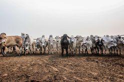 Em junho, a própria Marfrig admitiu que não possui controle sobre a origem de 40% do gado que compra (Christiano Antonucci/Secom-MT)