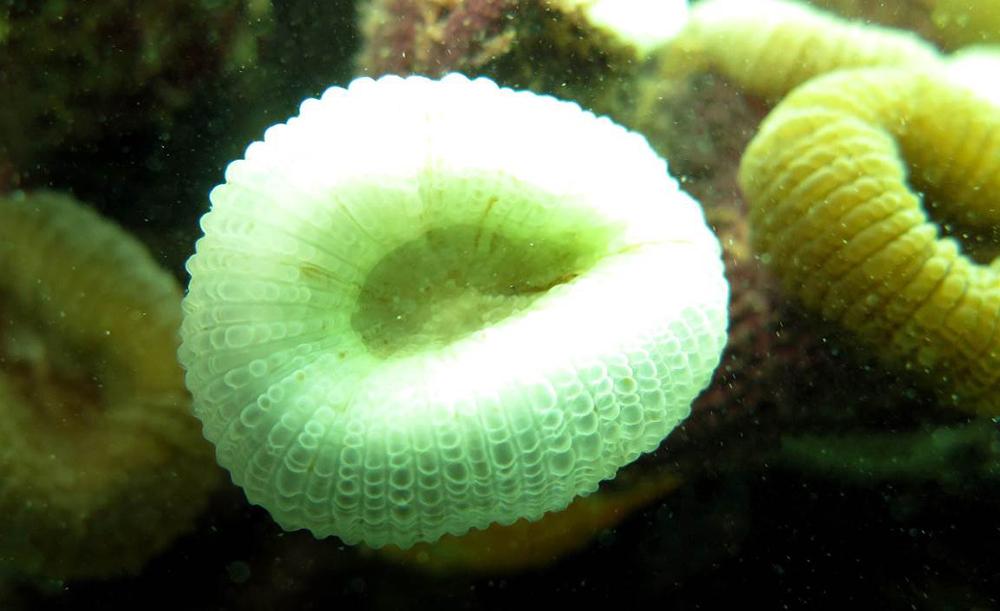 Branqueamento de colônia de coral-cérebro (Mussismilia hartii) - (Pedro Pereira)