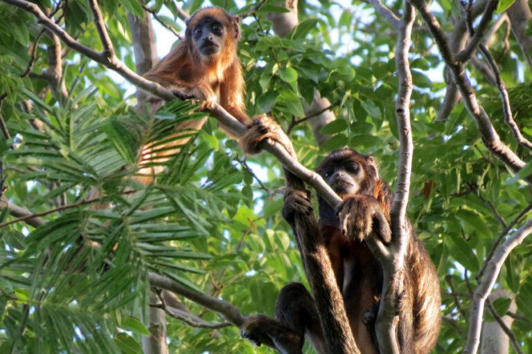 O guariba-da-caatinga, que ocorre no Ceará, Piauí e Maranhão, depende de florestas conectadas para a sua existência (Robério Freire Filho)