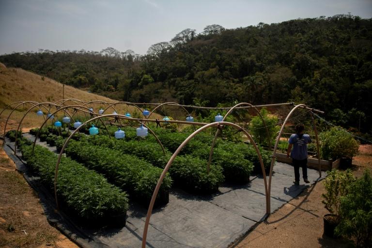 Plantação da Apepi foi alvo de operação da polícia após denúncia (MauroPimentel/AFP)