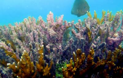 Branqueamento da Millepora sp (coral de fogo)- (Pedro Pereira)